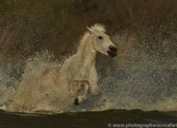 Camargue Horses 2015 -61copyright-photographers-on-safari-com