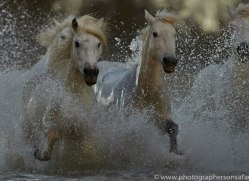 Camargue Horses 2015 -66copyright-photographers-on-safari-com