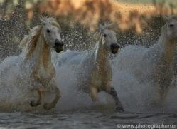 Camargue Horses 2015 -68copyright-photographers-on-safari-com