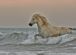 Camargue Horses 2015 -6copyright-photographers-on-safari-com