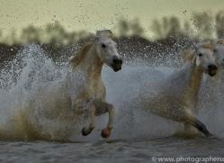 Camargue Horses 2015 -71copyright-photographers-on-safari-com