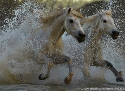 Camargue Horses 2015 -73copyright-photographers-on-safari-com