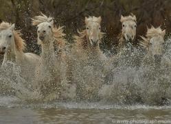 Camargue Horses 2015 -8copyright-photographers-on-safari-com