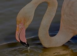 Flamingo 2015 -5copyright-photographers-on-safari-com