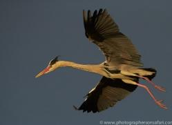 Grey Heron 2014-1copyright-photographers-on-safari-com