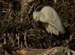 Little Egret 2014-3copyright-photographers-on-safari-com