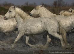camargue-white-horses1126-camargue-copyright-photographers-on-safari-com