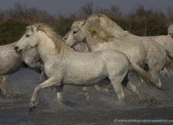 camargue-white-horses1128-camargue-copyright-photographers-on-safari-com