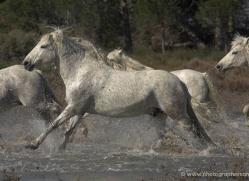 camargue-white-horses1133-camargue-copyright-photographers-on-safari-com