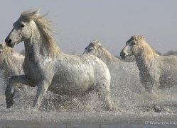 camargue-white-horses1137-camargue-copyright-photographers-on-safari-com