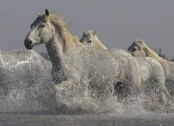 camargue-white-horses1139-camargue-copyright-photographers-on-safari-com