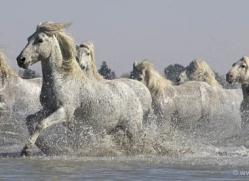 camargue-white-horses1141-camargue-copyright-photographers-on-safari-com