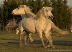 camargue-white-horses1158-camargue-copyright-photographers-on-safari-com