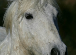 camargue-white-horses1159-camargue-copyright-photographers-on-safari-com