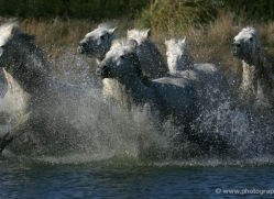 camargue-white-horses1163-camargue-copyright-photographers-on-safari-com