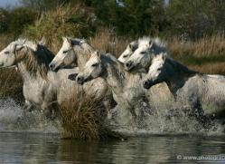camargue-white-horses1165-camargue-copyright-photographers-on-safari-com