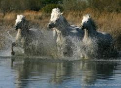 camargue-white-horses1166-camargue-copyright-photographers-on-safari-com