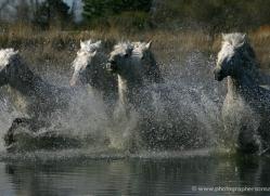 camargue-white-horses1167-camargue-copyright-photographers-on-safari-com