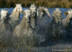 camargue-white-horses1169-camargue-copyright-photographers-on-safari-com
