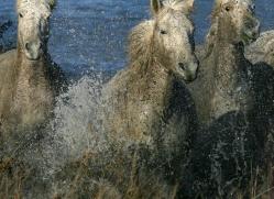 camargue-white-horses1170-camargue-copyright-photographers-on-safari-com