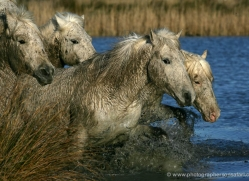 camargue-white-horses1172-camargue-copyright-photographers-on-safari-com
