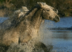 camargue-white-horses1173-camargue-copyright-photographers-on-safari-com