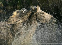 camargue-white-horses1178-camargue-copyright-photographers-on-safari-com