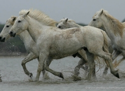 camargue-white-horses1185-camargue-copyright-photographers-on-safari-com