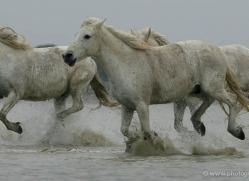 camargue-white-horses1186-camargue-copyright-photographers-on-safari-com