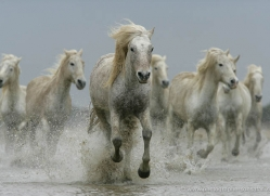 camargue-white-horses1190-camargue-copyright-photographers-on-safari-com
