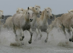 camargue-white-horses1191-camargue-copyright-photographers-on-safari-com