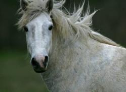 camargue-white-horses1194-camargue-copyright-photographers-on-safari-com