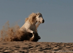 camargue-white-horses1206-camargue-copyright-photographers-on-safari-com