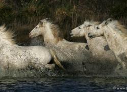 camargue-white-horses1208-camargue-copyright-photographers-on-safari-com