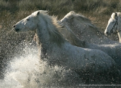 camargue-white-horses1211-camargue-copyright-photographers-on-safari-com
