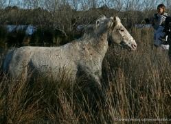 camargue-white-horses1213-camargue-copyright-photographers-on-safari-com