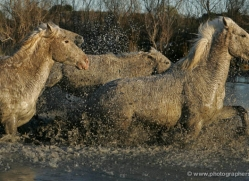 camargue-white-horses1215-camargue-copyright-photographers-on-safari-com