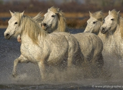 camargue-white-horses1217-camargue-copyright-photographers-on-safari-com