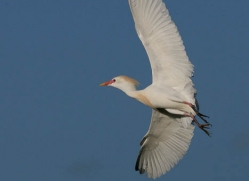 cattle-egret-1103-camargue-copyright-photographers-on-safari-com