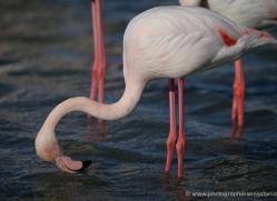 flamingo-1090-camargue-copyright-photographers-on-safari-com