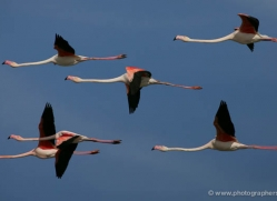 flamingo-1091-camargue-copyright-photographers-on-safari-com