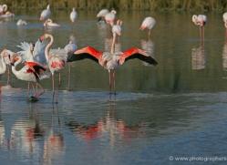 flamingo-1093-camargue-copyright-photographers-on-safari-com