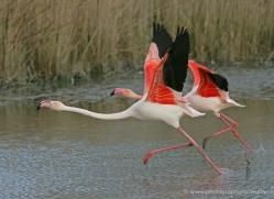 flamingo-1095-camargue-copyright-photographers-on-safari-com