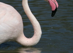 flamingo-1098-camargue-copyright-photographers-on-safari-com