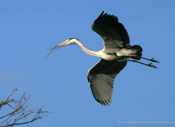 grey-heron-1032-camargue-copyright-photographers-on-safari-com