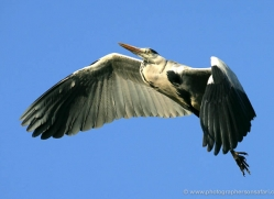 grey-heron-1033-camargue-copyright-photographers-on-safari-com