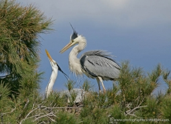 grey-heron-1038-camargue-copyright-photographers-on-safari-com
