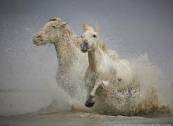 grey-heron-1050-camargue-copyright-photographers-on-safari-com