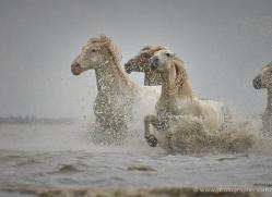 grey-heron-1051-camargue-copyright-photographers-on-safari-com
