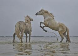 grey-heron-1056-camargue-copyright-photographers-on-safari-com